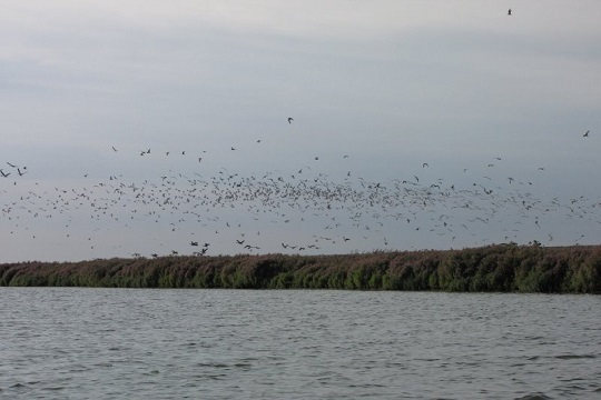 Black tern roosts in the IJsselmeer region
