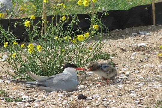 Common terns in the IJsselmeer area