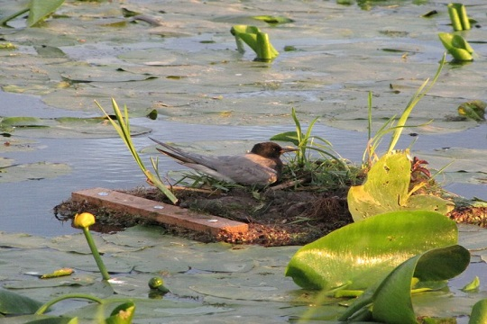 Black tern nest predation study