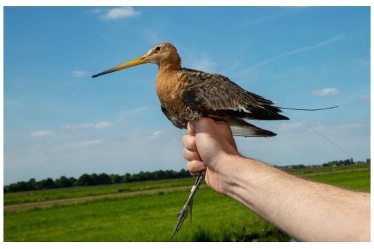 Habitat use of black-tailed godwits in the Krimpenerwaard